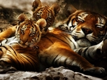 A 26 Picture Collection of wild animal scenes in there natural surroundings Lions, Tigers, Monkeys, Wolves, and more 14.40 MB